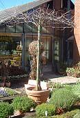 Blauregen – Wisteria floribunda