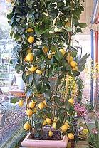 Zitrone – Citrus limon